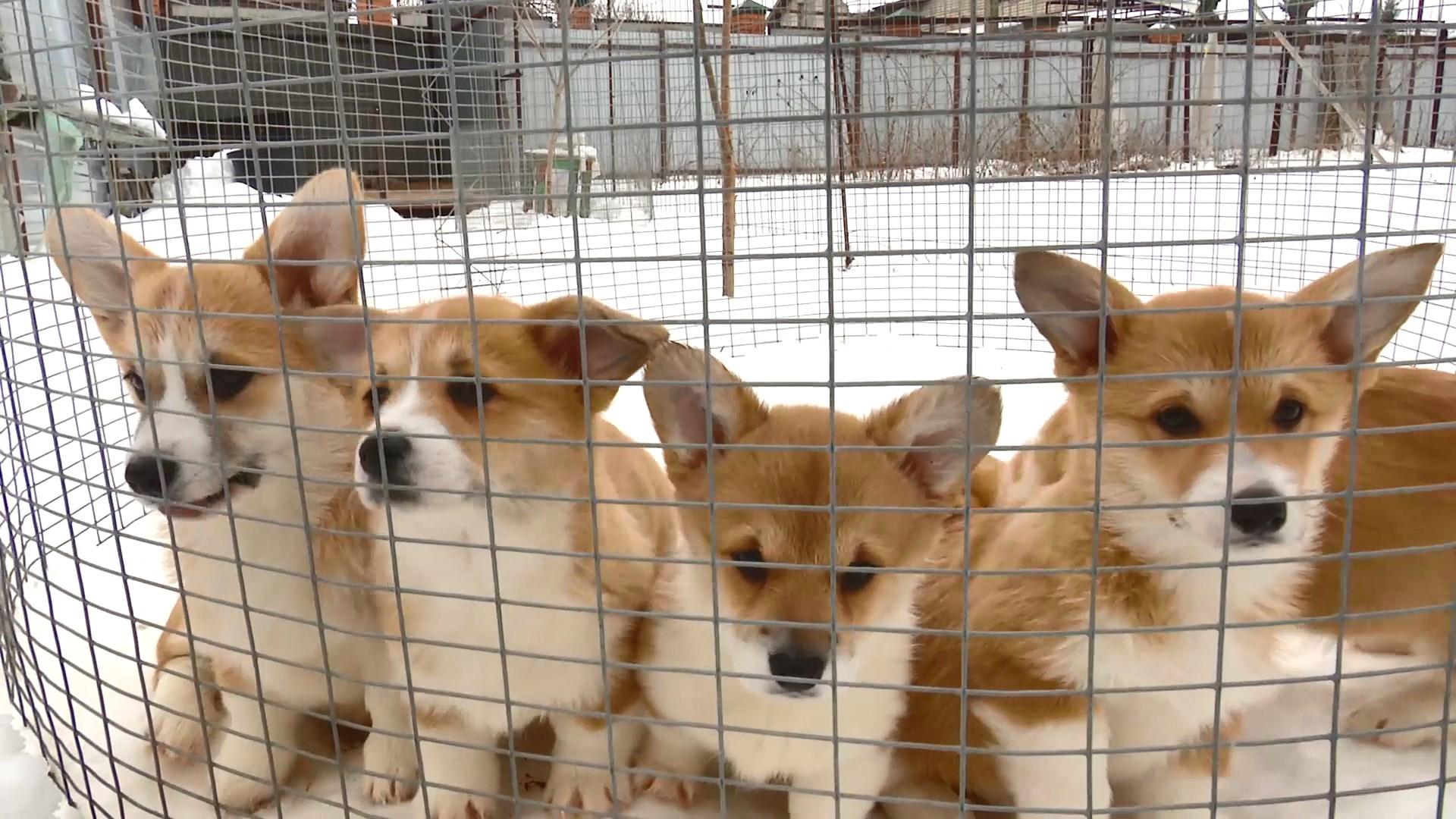 США запретят ввоз собак из 113 стран мира из-за угрозы бешенства