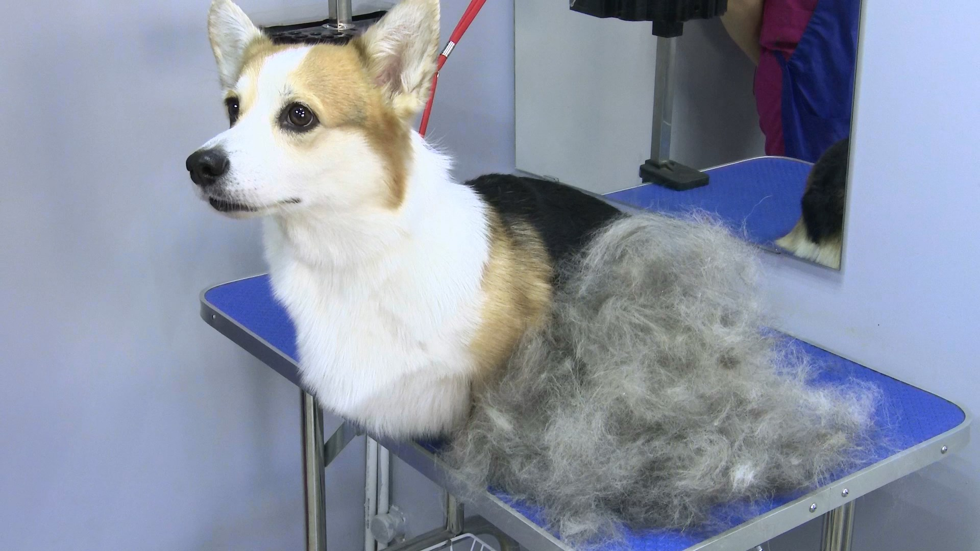 Собаки и люди: как сократить период линьки и лай без причины