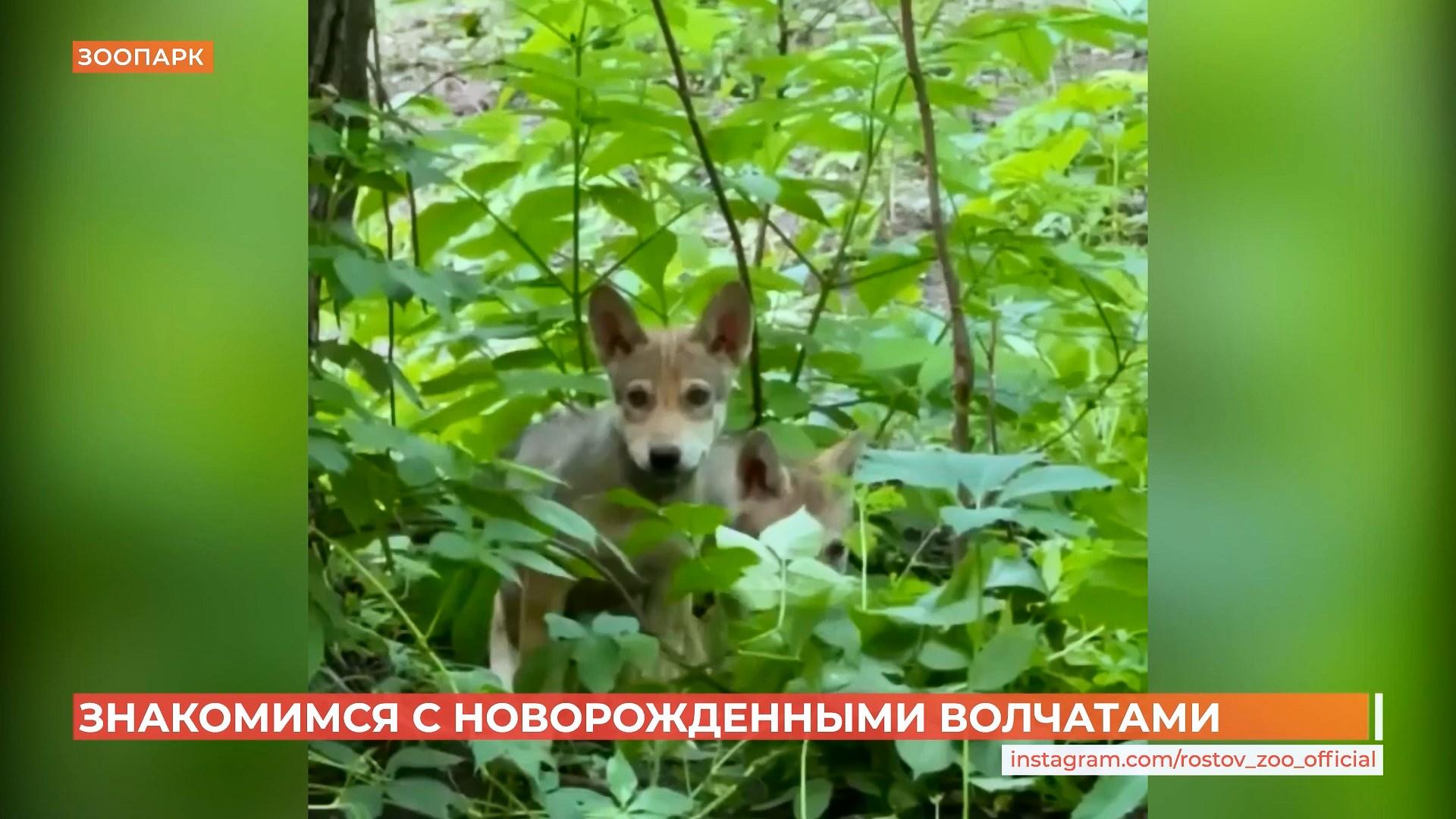 Была пара, стала стая: три волчонка родились в Ростовском зоопарке